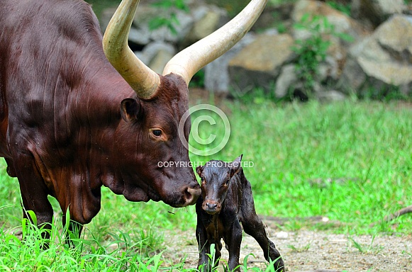 Longhorn Cattle with calf