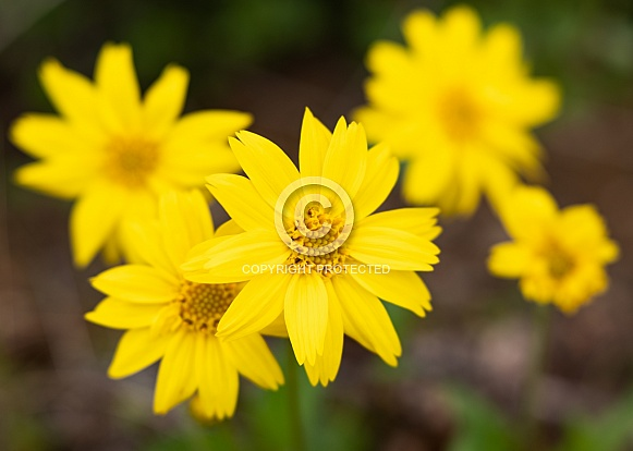 Yellow Daisy Bellis perennis in Bloom
