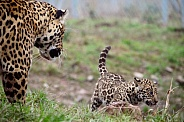 Jaguar with Cub