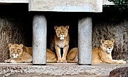 African lioness'