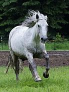 Single White Horse Running