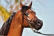 Arabian Gelding Portrait
