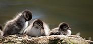 Australian wood ducklings (wild).