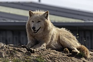 Arctic Wolf lying down resting