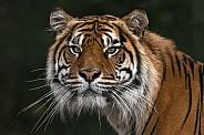 Sumatran Tiger Front On Head Shot