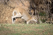 Wallaby on front legs while hopping