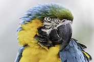 Blue and Gold Macaw Head Shot