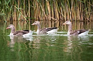 Gray geese