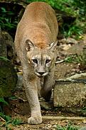 Cougar/ Moutain Lion/ Puma