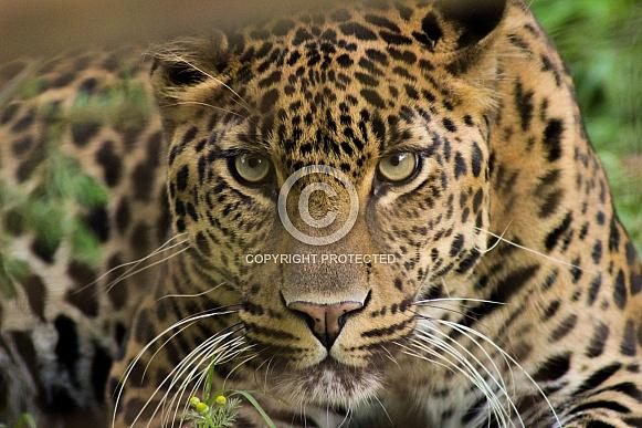 African leopard Bakari