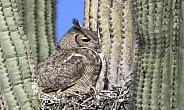 Great horned owl sitting in her nest