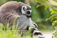 Ring Tailed Lemur Sleeping