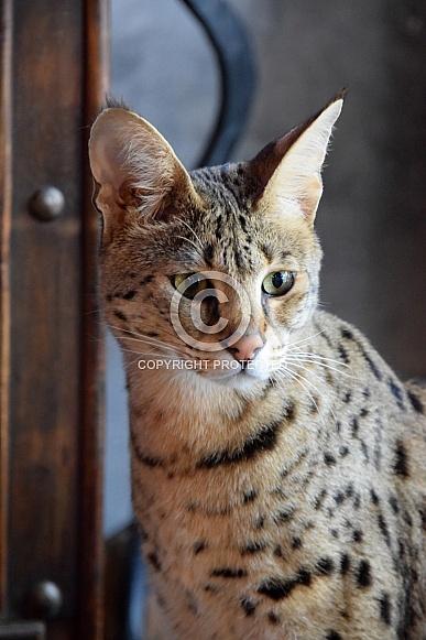 Savannah Cat F1