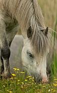 Carneddau Pony