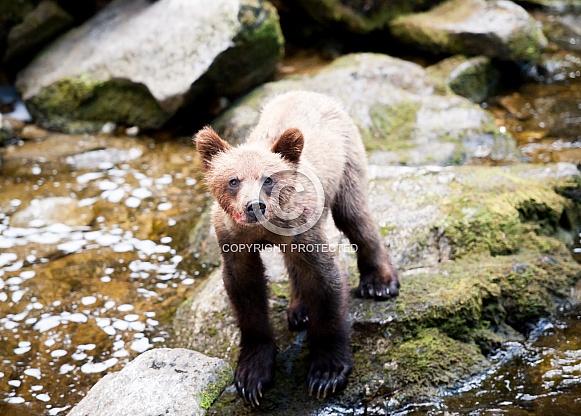 A wild grizzly bear cub