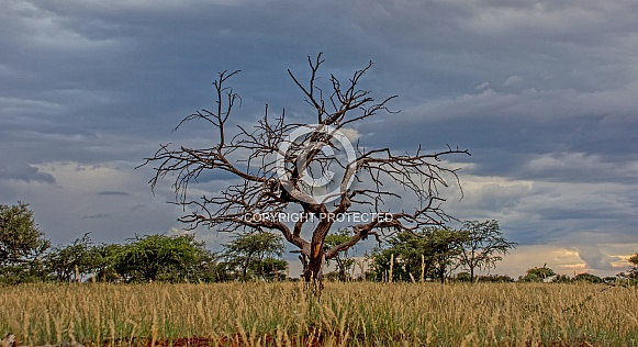 Camel Thorn tree