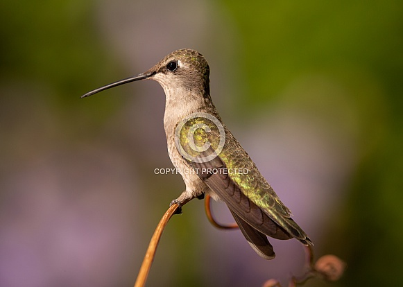 Hummingbird perched on a piece of grape vine