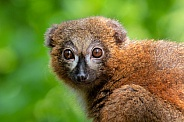 Red bellied lemur (Eulemur rubriventer)