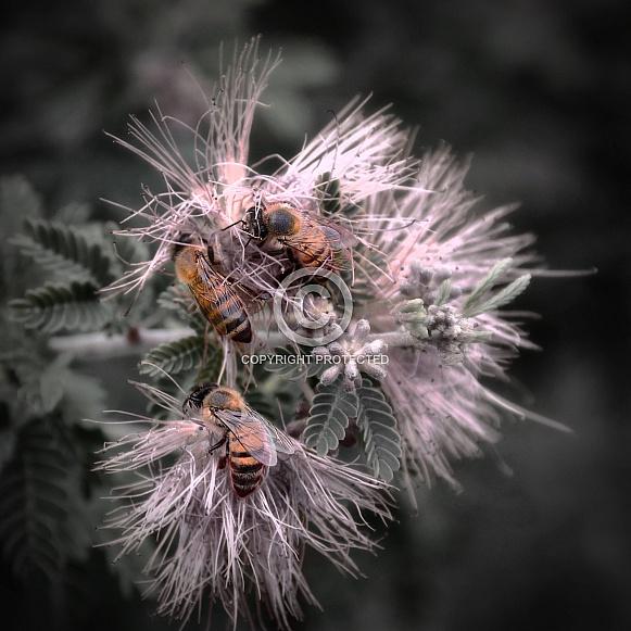 Bee Trio on Fairy Duster