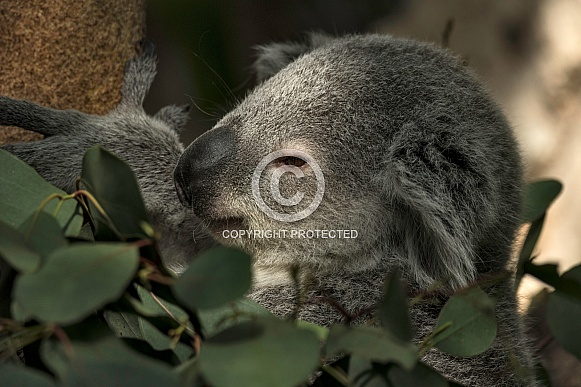 Koala Joey In Tree Close Up