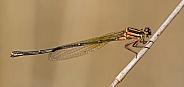 Orange threadtail damselfly
