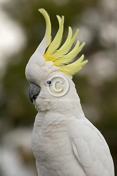Sulphur-crested Cockatoo, crest up