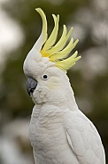 Sulphur-crested Cockatoo, crest up