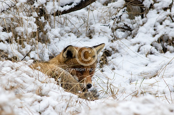 Red fox resting in snow
