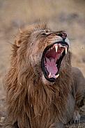 Lion Yawning