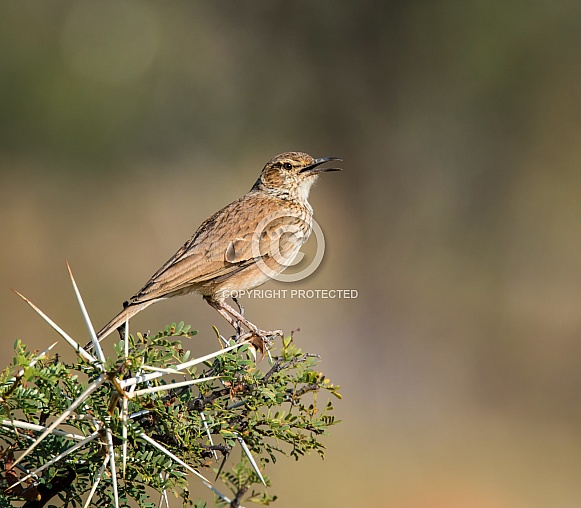 Spike-heeled Lark
