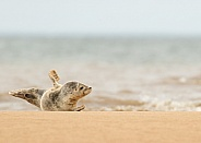 Young Common Seal