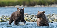 Wild Alaskan brown bear cubs