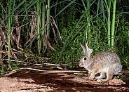 Dessert Cottontail Rabbit Sylvilagus audubonii