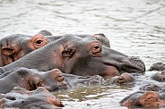 Group of hippos