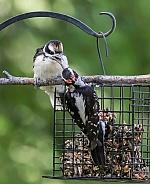 Male Hairy Woodpecker Feeding Juvenile Fledgling in Alaska