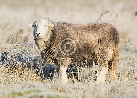 Herdwick Sheep in Frost