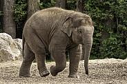 Asiatic Elephant Calf