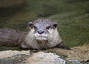 River otter looking to get out of the water