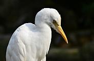 Buffalo Egret
