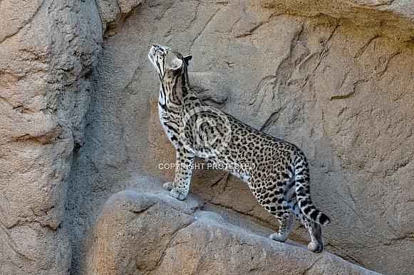 Ocelot (Female)