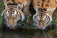 Siberian Tigers(Panthera Tigris Altaica)