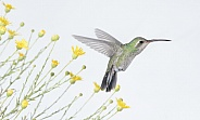 Broad-tailed Hummingbird (wild female)