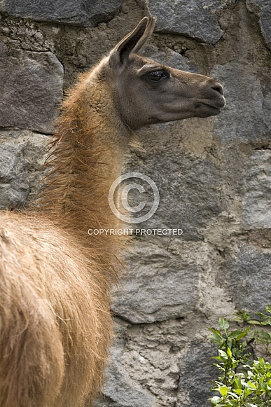 Llama - Ecuador - South America.