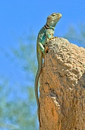 Collared Lizard (Male)