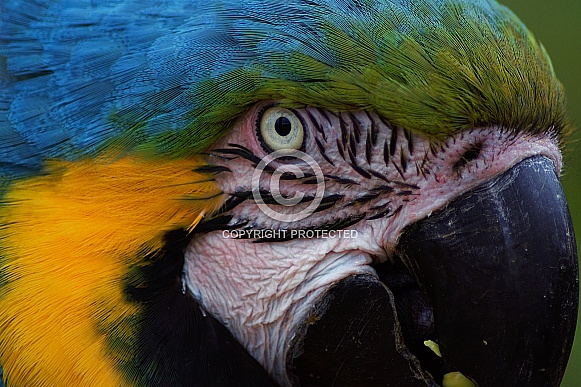 Close Up of Blue & Yellow Macaw