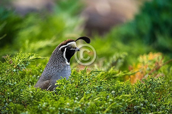 California Quail hiding in greenery
