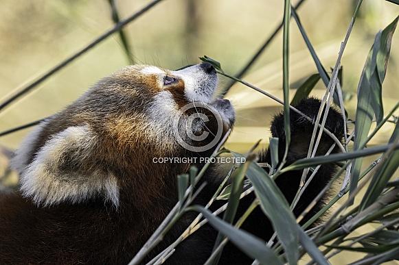 Red Panda Close Up Eating Bamboo