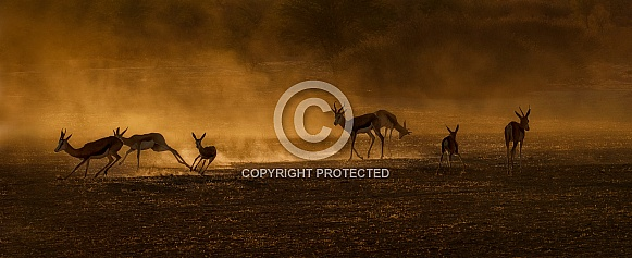 Springbok in gold dust