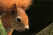 Red Squirrel Looking Around Tree