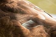 Brown duck (wild)